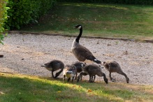 Papa talks with the Man (look for his toe) while the Goslings enjoy their treat.